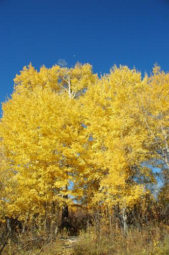 【アスペン紅葉】アスペンが真っ黄色に色づいていた。風が吹くと、黄色く輝く葉っぱがひらひらと舞い地面に落ちていく。そして、車が落ちている葉っぱを再び巻き上げ、キラキラと幻想的なシーンを作り出していた。