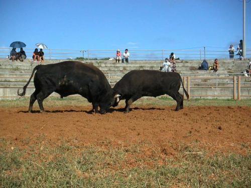 島には闘牛場があって、時々闘牛大会が行われる。<br />牛一頭につき人間一人が場内に入って、闘牛の士気を高める。<br />牛の戦いぶりも迫力があって凄いけど、人間の士気の上げぶりもなかなか面白い。<br />