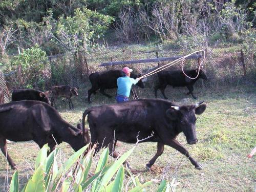 島には牛も沢山いる。<br />牧場から牛を移すということで、牛追いを手伝いに行った。と言っても私は牧場内をちょこっと走っただけやけど。<br /><br />一箇所に牛を集めて、目的の牛を捕まえる。<br />どうやって捕まえるかって?<br />ロープで輪を作ったものを棒に取り付けて、それを牛の首や角に引っかけて捕まえるのだ。<br />牛の中に入って捕まえる人は必死、安全な場所から見守る周りの人はあぁでも無い、こうでも無い、と口うるさい(笑)。<br /><br />何とか移送車に牛を移したら、どこからかビールが箱ごと運ばれてきた。<br />かんぱ〜い!!