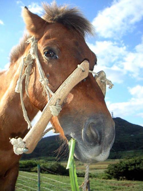 与那国馬はサラブレッドよりも小さいから、恐怖感無しに近づくことができた。よしよし撫でたり、あのふわふわの鼻の部分にすりすりしたりすると気持ちがいい。でも、馴れていない他所の馬に、連打で蹴られた事がある。凄い速さで蹴られて、驚きのあまりすぐに避けれなかった。瞬間は痛みを感じなかったけれど、後でじわじわやってくる。足は青たんだらけだ。