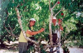オーチャードのお仕事<br />5:00〜14:00(季節により変動する)<br /><br />オーチャードの仕事は食堂前集合で、決められた車に乗り込んで移動し、グループで作業をする。<br />大きな枝切りハサミみたいなのを使って下のほうに生えている小さな木をカットする仕事や、水やりのホースを設置したり、雑草抜き、リンゴや洋ナシ、キーウィ等の小さな実を落とす作業、消毒をまく作業など様々。