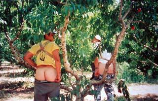 6月にはネクタリンのピッキングが始まる。肩からカゴをぶら下げて、決められたサイズのネクタリンを収穫していく。<br />食べごろのネクタリンはその場で食べる。喉が渇いても、お腹が空いてもすぐに食べる。ルームメイトや友達にも持って帰る。<br /><br />キャタピラー殺しという仕事があった。<br />リンゴの木の下にオレンジ色の糞が落ちていないかを調べ、落ちていたらその上を辿ってキャタピラーの住む穴を見つける。その小さな穴の中に先っぽを折り返してある針金を入れて行って、奥まで着いたらくるっとひねって取り出す。すると先っぽに白いグニョグニョしたキャタピラーがくっついて来る。これをちゃんと殺さないといけない。男の子達は楽しんでやってたけど。。。<br />2人ペアで、一列の木をチェックして行くねんけど、適当に次に進んで行ったら、ボスのオフィール大先生(この人この仕事得意)がここにもいる!と言ってチェックしにやって来る。オフィール大先生と同じ車に振り分けられたら要注意である。<br /><br />