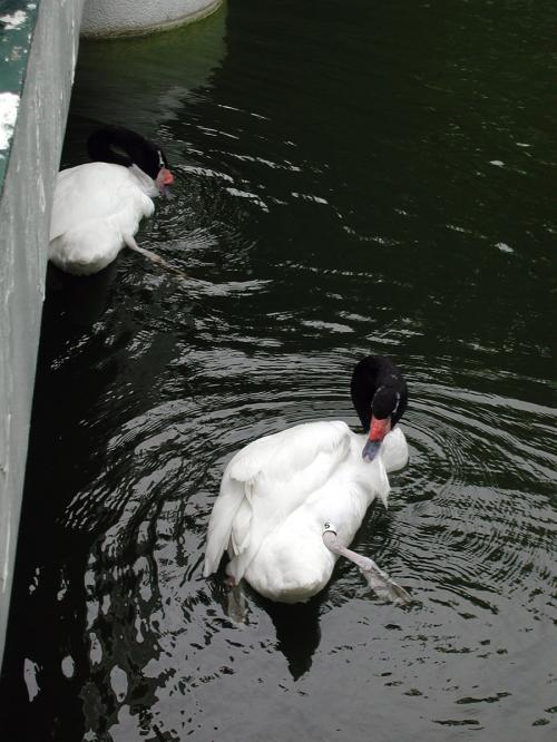 中国語で聞いたら天{鳥我}だから、白鳥の仲間?