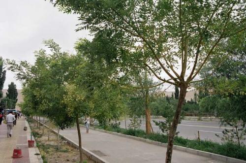 再び敦煌へ戻り、鳴沙山へ。麓の道沿いには街路樹が。
