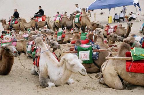 鳴沙山の麓はラクダがいっぱい。これに乗って散策が楽しめる。