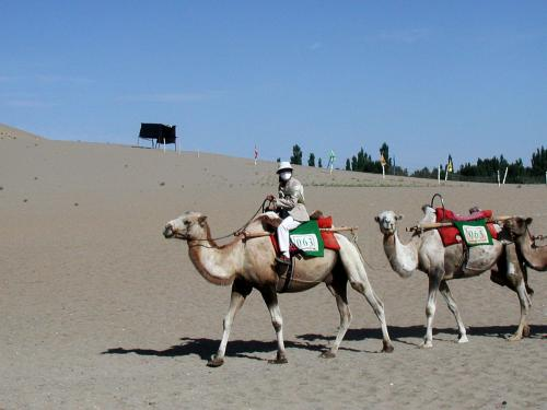 先ず、月牙泉に車で向かった。<br />途中、こう言う空の駱駝に出会う事がある。<br />鳴沙山経由で来た客が、車で帰ってしまったらこうなる。<br />