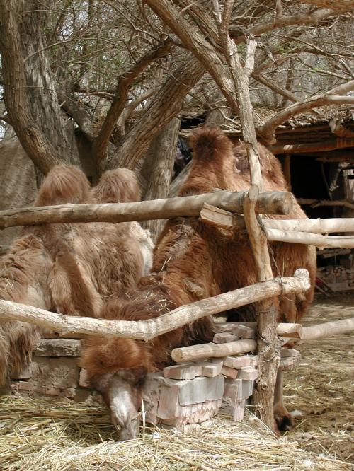 トイレに向かう途中に居た駱駝たち。干し草をほおばっていた。