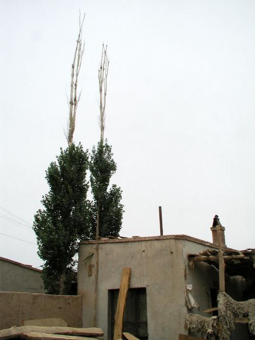 幹の先になる程葉っぱのない白楊樹(新疆ポプラ)。<br />蝦フライみたい。。