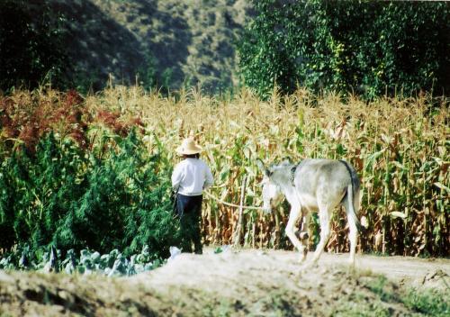 驢馬を引く女性。<br />サトウキビととうもろこしの畑ばかりしか見当たらない。