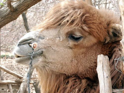 ヘアスタイルのイカした駱駝君。<br /><br />「オレは鳴沙山のアイドルさ!」