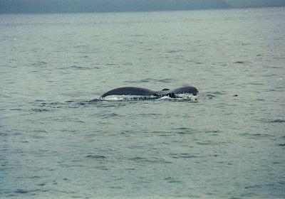 鯨のしっぽ<br /><br />うまく取れたと思ったんだけど、動物を撮るのは難しい