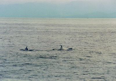 親子の鯨<br /><br />ここSAMANAの海で生まれた小鯨です