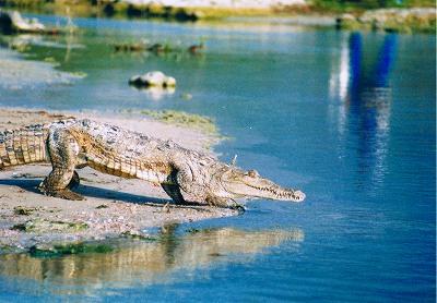 これがISLA CABRITO<br />ワニがうじゃうじゃいた!ドミニカ人はそのワニのなかを平気で歩いていた。おとなしいみたい。<br />この湖は塩湖なのだけど、この島周辺は湧き水があるみたいで、それでたくさんのワニが集まっている感じだった。ワニも塩辛いのは嫌なのか?<br />