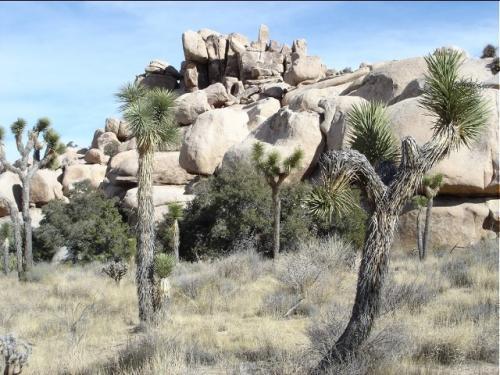 いろんな形のジョシュアツリーと岩山 <br /><br />ジョシュアツリーは年間に数ミリしか成長しないので大きなものでは樹齢8百年というのもある <br /><br />岩山は長い年月の間に侵食され山の骨格だけが残ってる状態 <br /><br />