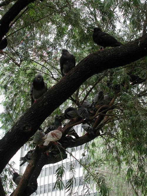 見上げてみると、そこにあった木の上にも沢山鳩が停まっています。