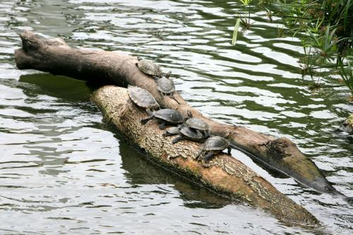 九龍公園内には、鳥の世界があります。<br />その池には、こんな亀の休憩場が。