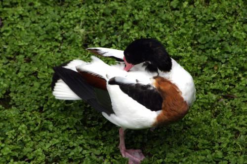 こちらはきれい好きな鴨。<br />羽繕いに抜かりがありません。