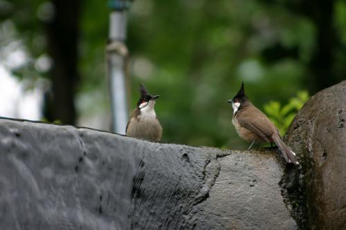 ヤンキーな小鳥たち。