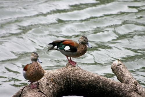 枯れ木の上で休んでいる鴨たち。<br />左の鴨くんは、目を閉じてこっくりこっくりしていました。<br />微笑ましく、とっても可愛らしかったです。(^^<br />