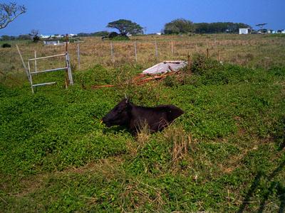 牛がいた。
