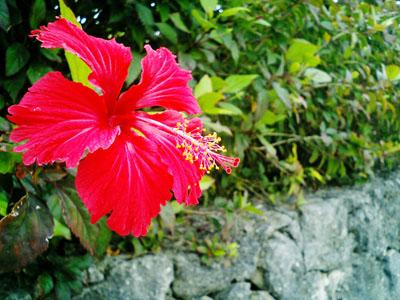 道を歩いているとハイビスカスがあった。<br />沖縄に来ている実感があった。
