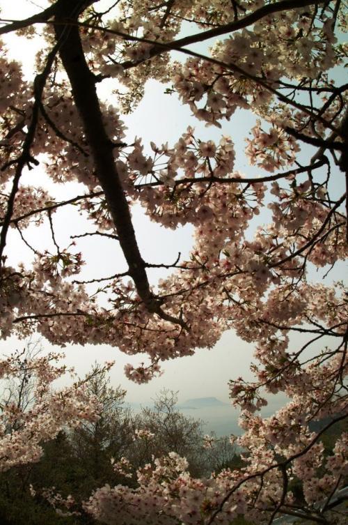 南大師堂の桜です。<br />花の向こうには屋島が見えます。