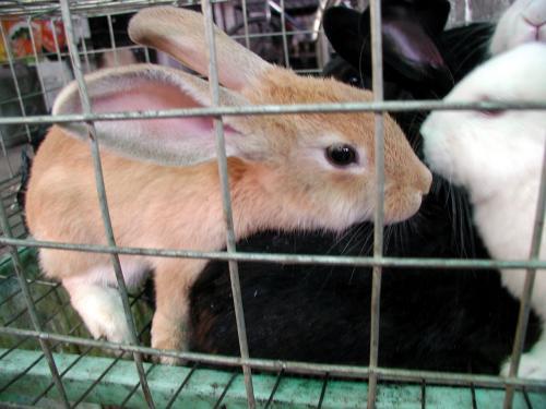いつもの肉屋の籠の中には、いつもの白や黒とは違ったウサギが居ました。<br />何か、体全体に白い縁取りのある感じがします。