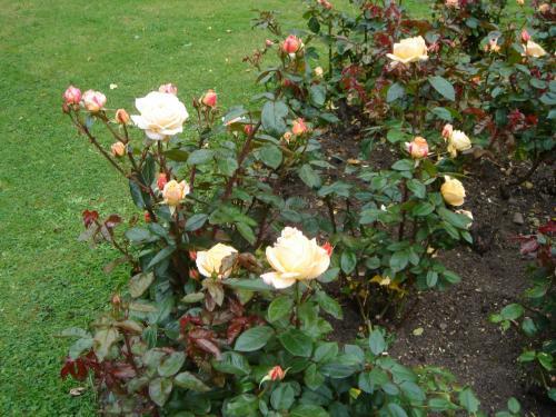 チェスター大聖堂に咲いていたバラです。何かの記念のようでしたが忘れました。
