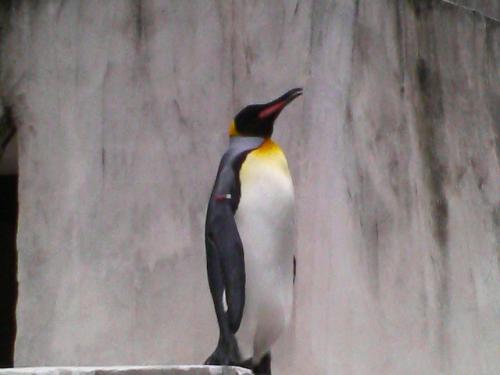 オオサマペンギン(皇帝ペンギン?)です。何かのCMで見たことあるような姿ですネ