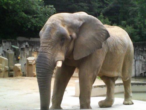 今度の象はアフリカ象です。アジア象よりも耳が大きいのも特徴です。
