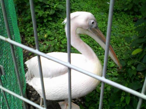 ペリカンです。ピンクペリカンというらしく、羽毛が薄ピンクで綺麗でした。