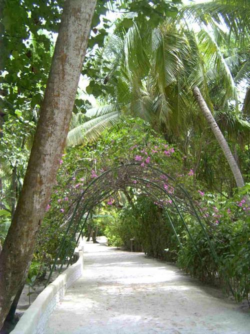 島の中はこんな感じです、アリ環礁の中で一番初めに出来たリゾートだけあり、緑も実に自然な形で成長しています。暑い中にもこのような木々の日陰のしたはひんやりして気持ちがいいものです。