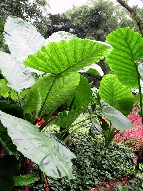 人の背丈よりも大きいクワイ系の植物の葉。<br />これ、三峡にもあった。