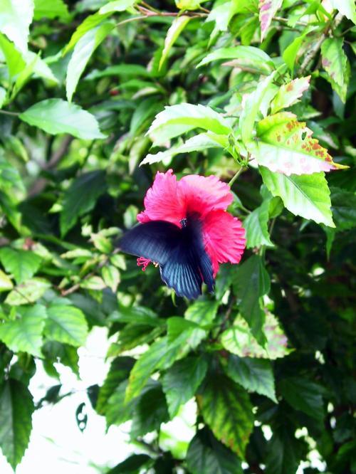 沖縄の花、南国の花、ハイビスカスに、アゲハチョウが沢山飛んでいました。