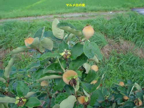 マルメロって何? <br />中央アジア原産のバラ科の植物。<br />*後日、実際に中央アジア・キルギスタンでこの木が生えていたのを見た。<br />http://4travel.jp/travelogue/10724011<br /><br />10月頃に実が熟して、カリンの実のような実になる。<br />カリンと同じく、そのままでは食べられず、ジャムや酒につけたりして食する。