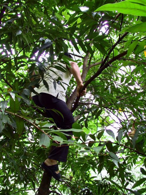 白部長が木登り。<br />空心果を採っている所。<br /><br />もう良いと言ってもガンガン登ってバンバン採る。