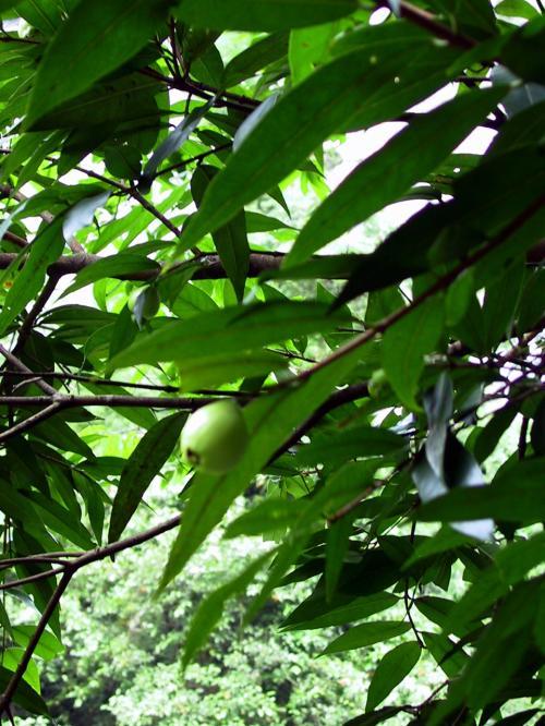 見えている木の実は、通称「空心果」。<br />形が琵琶に似た木の実。<br />果物のように甘いが、食感はカスカス・・・<br />繊維の多い木の実です。