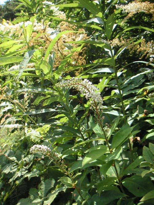 ヤナギラン群生地でみかけた植物です。<br />これはなに???