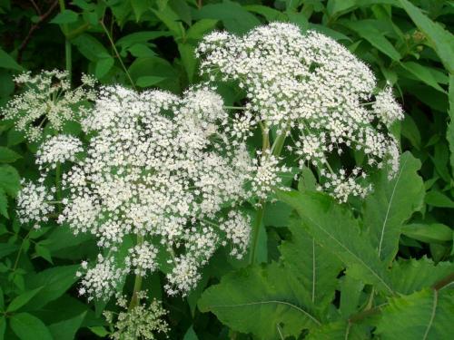 自然園には高山植物が豊富。<br />今観れる植物をプリントしてあるガイドを買ってまわります。