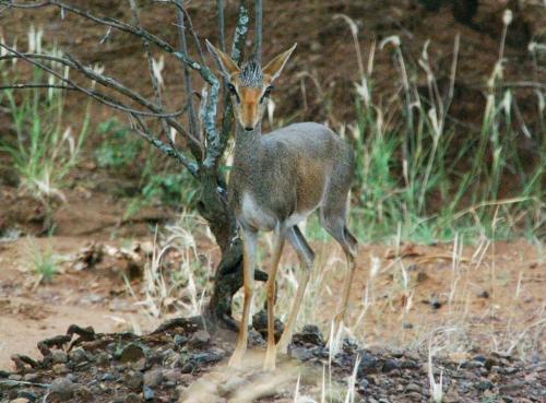 ディクディクがいた。<br />・マゴ国立公園 2600㎢<br />オモ国立公園(3100㎢)は7年前に橋が壊れたため、こちらからは行けずジンマ経由で行くことになる。<br />クドゥ、キリン、シマウマ、ガゼル、バッファロー、ゾウ、ライオンが棲息しているが、大型動物はほとんど見られない