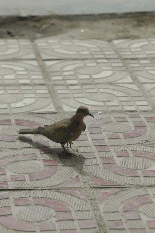 まずは可愛いお客さん。<br />この辺りに沢山居る「斑鳩(ban jiu)」君。<br /><br />この小振りの山鳩は、日本語では「鳩」でも済むけど、中国語は分類が細かい。<br />日本の街中で見かけるあの「鳩」は、「鳩」と言うと違うものを指す事になる。<br />あの鳩の場合は、中国で「鴿子(ge zi)」と呼ぶ。<br /><br />日本語では「鴿」も「鳩」も「はと」と呼んでいるけど、中国語では音が違うので、違いを知らないと、鳥なのか何なのか判らなくなってしまうので、覚えておくと便利だ。