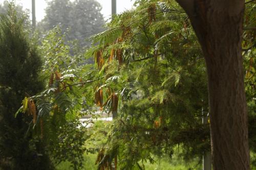 カフェ横辺りの庭園には、マメのようなモノがぶら下がっている樹木が沢山あった。