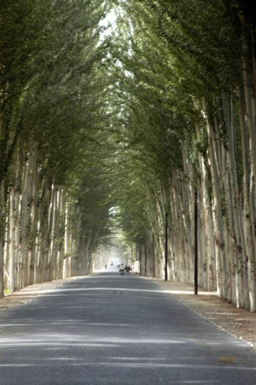 新疆ポプラのトンネル。<br />車からの撮影なので、画像はピンボケ。<br />ご勘弁願いたし。
