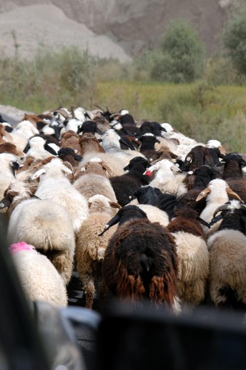 いつ見ても可愛いプリプリのおしり。<br />やはり、内地の羊はこんな感じではない。