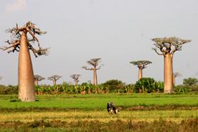 これがバオバブの並木道!大きなバオバブの前に立つと圧倒される・・凄い生命力を感じる。モロンダヴァから約15Km北、車で約2Hr。「バオバブ」とはマダガスカル語で「レ(母)ナラ(森)」といい、セネガルの言葉では「一千年の木」という意味がある。寿命は1,000年以上で幹の太さは5m以上のものがある。樹の形が面白く一度見たら忘れられない。逆さまの木とも言われる。新芽は食用、実は食用、薬用、石鹸の材料などになる。バオバブの種類は8種あるがマダガスカルでは6種類が見られる。アフリカとオーストラリアに各1種あるそうだ。<br /> <br /><br /> <br />