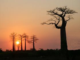 夕日とバオバブ!この光景に誰でも引き込まれる!静かな大地に力強いバオバブの木、一日が終わろうとしている・・夕日がバオバブの木に静かに消えていく。このバオバブのシルエットは実に美しい!数十本あるバオバブもそれぞれ形が異なり見ていて飽きない。不思議な木だ!この近くには「ラブラブの木」と言って幹が二つに分かれお互いが抱き合っているような格好をしている。なかなか迫力があって微笑ましい・・。童話「星の王子さま」では悪者にされたバオバブの木だが・・希望を与える木であろう。<br />