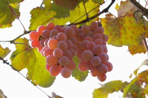 甲府といえばブドウです。<br />ブドウの季節は9月〜11月上旬までなので、最後の滑り込みという感じでした。<br />巨峰やマスカットといったような有名な品種はすでに季節が終わっていて、甲州という品種のブドウを狩りました。<br />