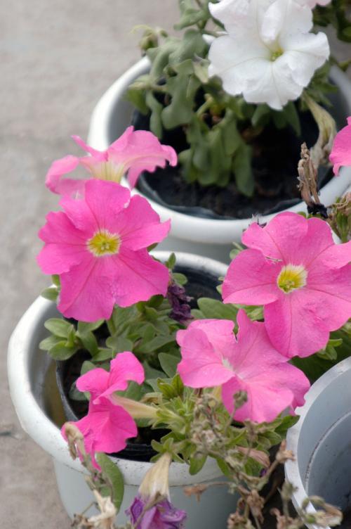 ペチュニアの花。<br />今までは何気なく見ていたので気付かなかったが、何とも沢山の種類があったようだ。<br /> <br />これは普通のピンク。<br />