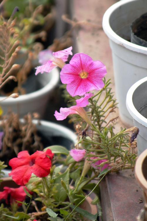 これが変わっている。<br />花茎がドンドン繋がって、龍の首みたいになって繋がっている。<br />普通のは、花が葉の間に咲き、終われば葉が付いた普通の茎にしか見えない。<br />