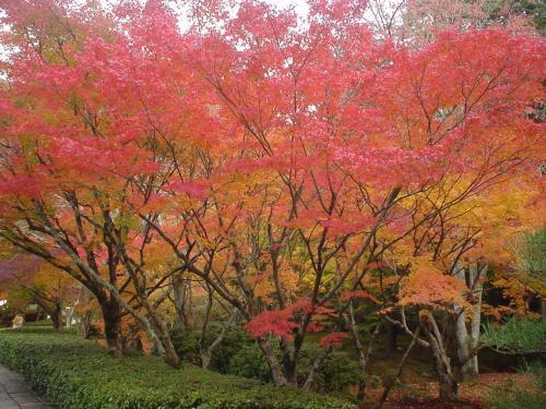 最初に行ったのは西芳寺(苔寺)です。ここは往復ハガキでの事前予約が必要で、予約は10時でした。新幹線で京都駅に着いたらホテルにチェックインして荷物だけ預け、そのままタクシーで直行。(京都駅からのタクシー代は2,810円かかりました。)<br />本堂で宗教行事(写経)を体験した後に庭園を散策。ここは「苔」が目当てでしたが、紅葉も素晴らしく綺麗でした!